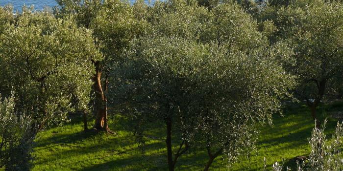 olivocletus